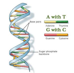 Сделать ДНК цены